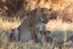 Löwenmutter