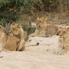 Löwenmutter mit drei Jungtieren