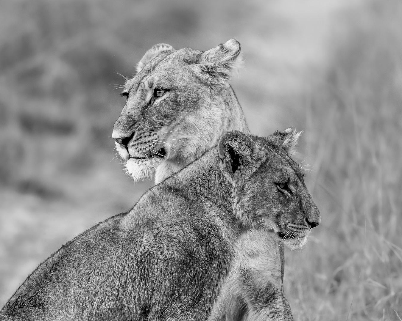 Löwenmutter mit Jungem
