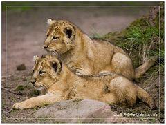 Löwennachwuchs .... :-))