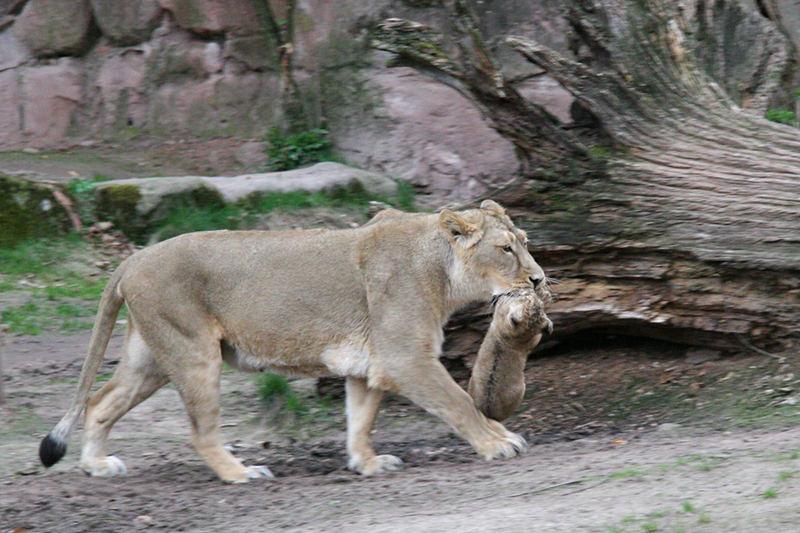 Löwennachwuchs im Tiergarten Nürnberg