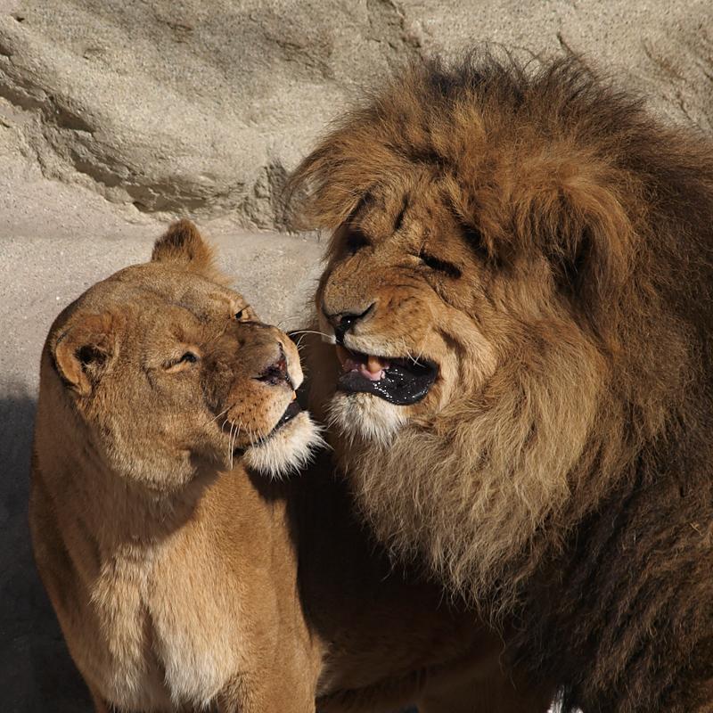 Löwenpaar Foto Bild Tiere Zoo Wildpark Falknerei