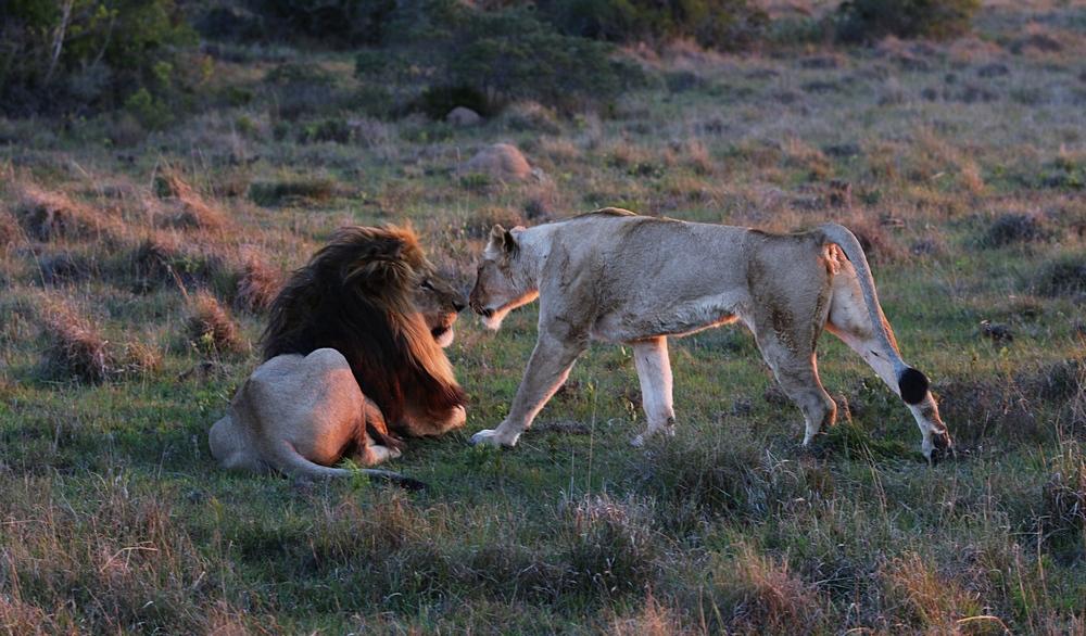 Löwenpaar in Südafrika