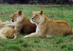Löwenrudel 1