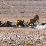 Löwenrudel beim Trinken am Wasserloch