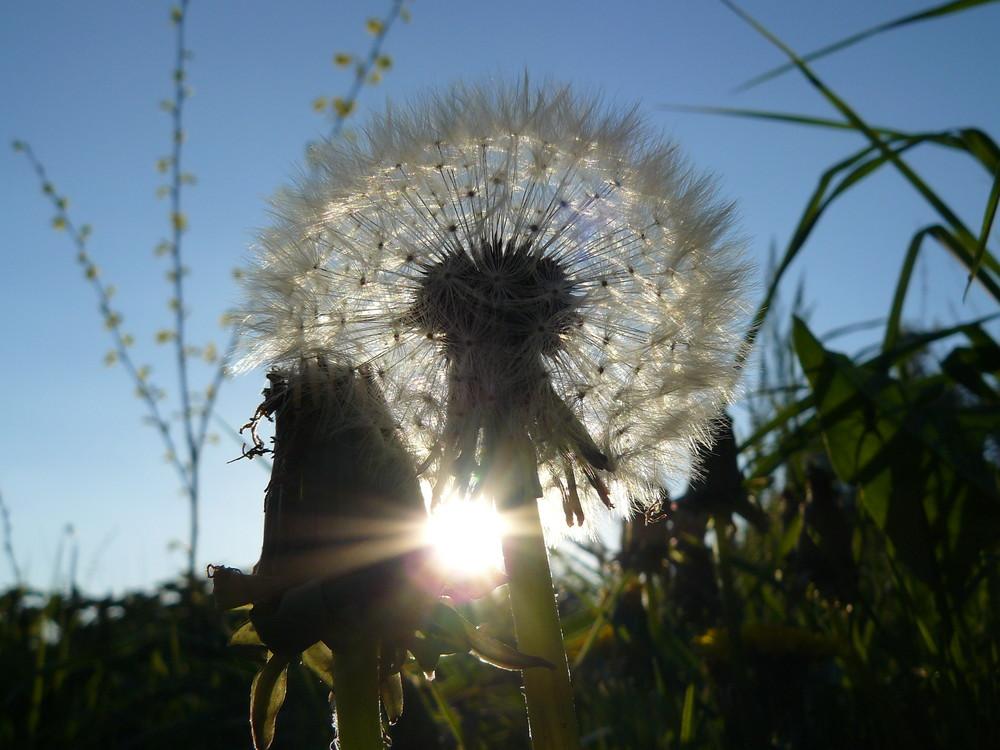 Löwenzahn im Sonnenschein