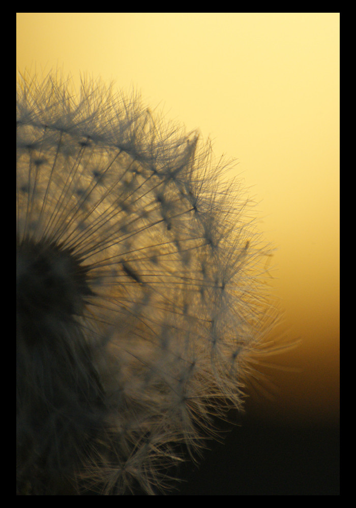 Löwenzahn im Sonnenuntergang