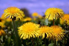 Löwenzahn in voller Blüte