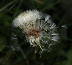 Löwenzahn-Pusteblume