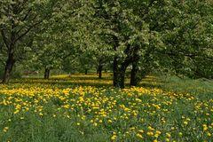 Löwenzahn unter Kirschbäumen