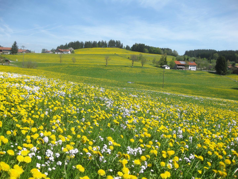 Löwenzahnblüte im Allgäu -3-