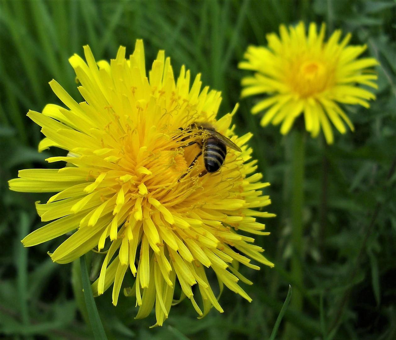 Löwenzahnblume  mit Biene