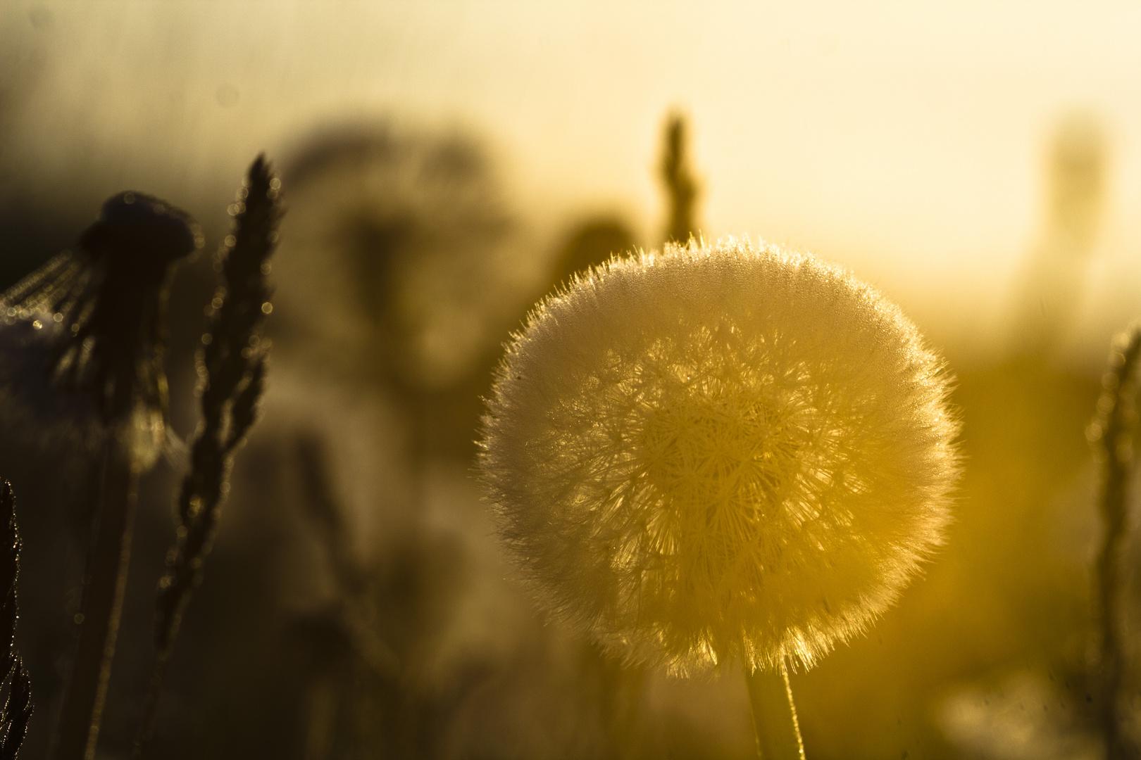 Löwezahn im goldenen Morgenlicht