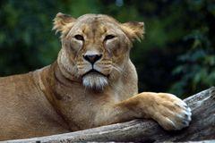 Löwin auf Beobachtungsposten
