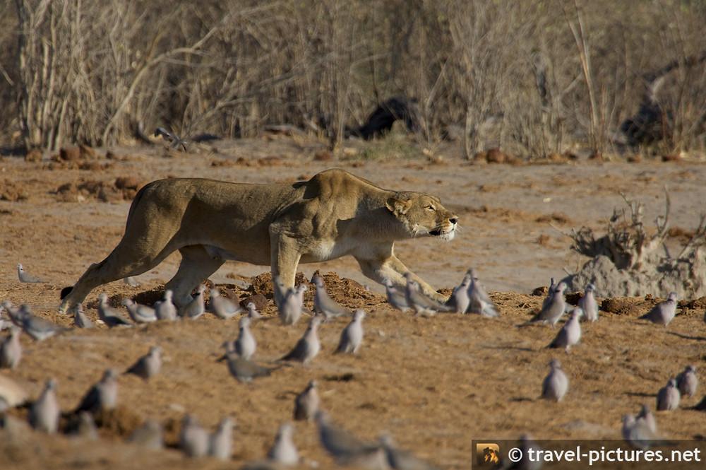 Löwin auf Jagd