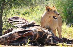 Löwin beim Mittagessen