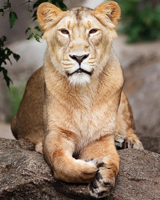 Löwin, einen Zooknipser beobachtend ...