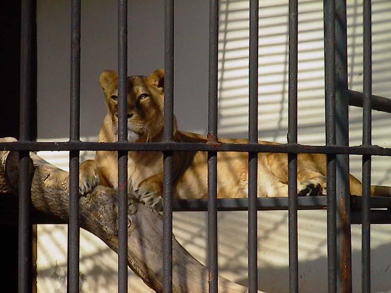 Löwin im Dresdner Zoo