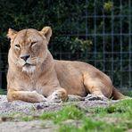 Löwin im Zoo Duisburg