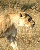 Löwin in der Masai Mara