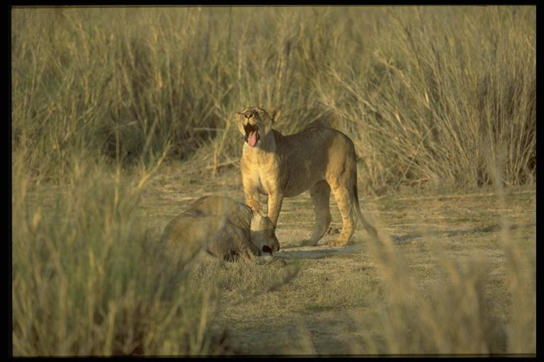 Löwin in der Massai Mara