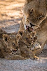 Löwin mit 3 Jungen