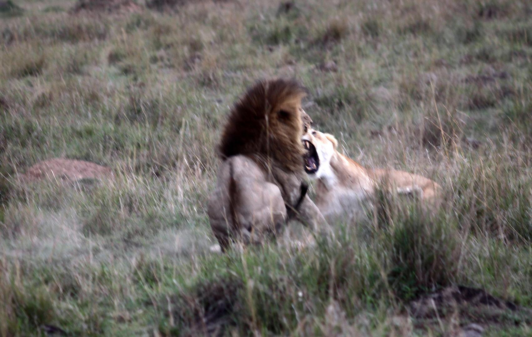 Löwin verteidigt ihre Jungen gegen einen fremden Löwen (3)