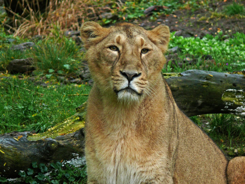 Löwin Züri-Zoo