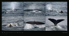 Lofoten 2007 - Whalewatching