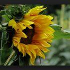 Logged sunflower