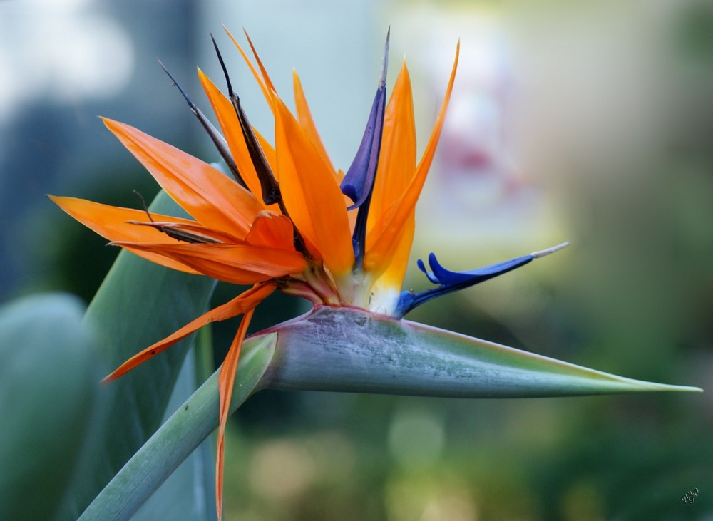 l 39 oiseau du paradis photo et image macro nature macro fleurs fleurs et macros images. Black Bedroom Furniture Sets. Home Design Ideas