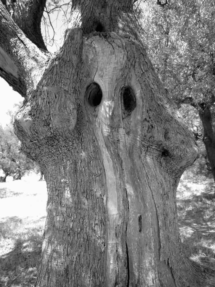 "L'olivier ""fantome"" ... Vlora (Albanie)"