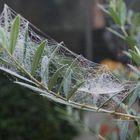 L'olivo in una mattinata di novembre.