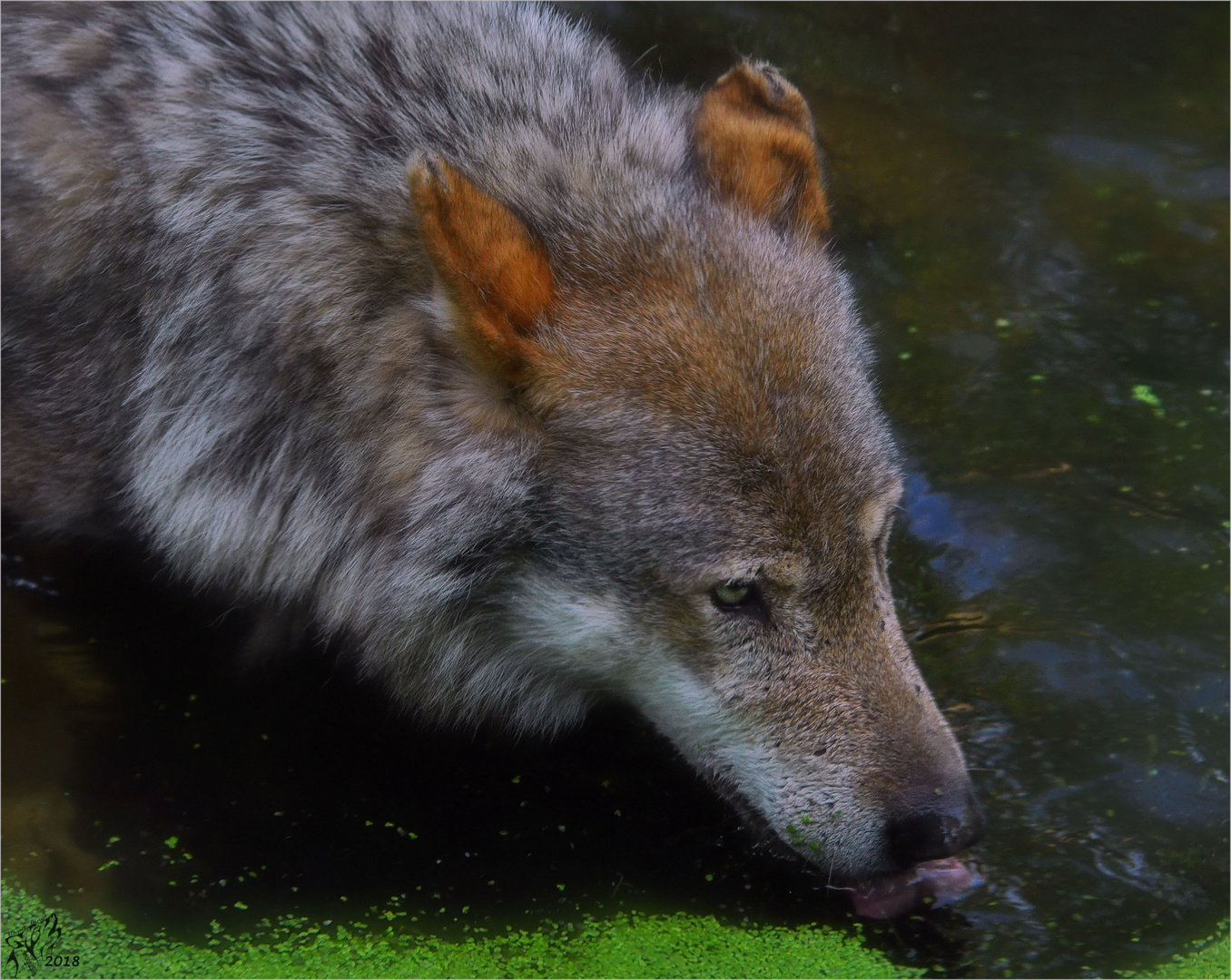 Lone wolf ..
