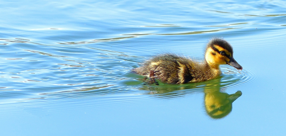 Lonely but brave duckling