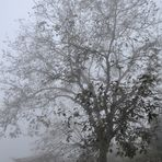 Lonely Foggy Tree -- Out of Any Time & Place