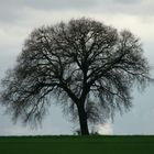 LONELY TREE IN FEBRUARY