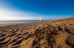 Lonesome Beachflower