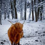 lonesome highland cattle