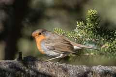 Lonesome Robin...