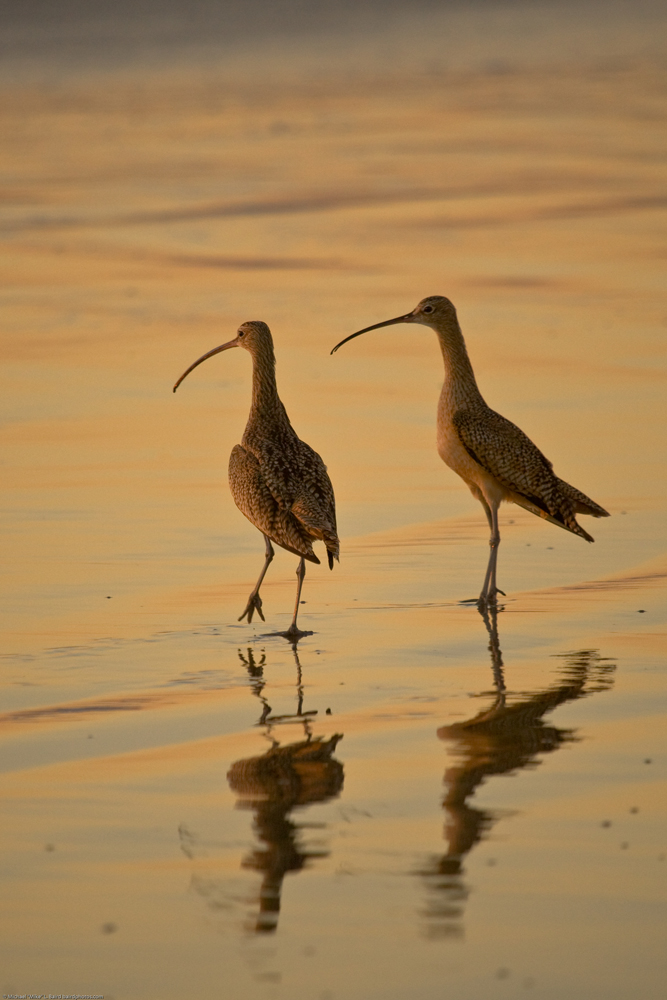 Long-billed Curlew (Numenius americanus) birds on Morro Strand State Beach during a golden sunset.