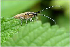 Longicorne : Agapanthia villosoviridescens