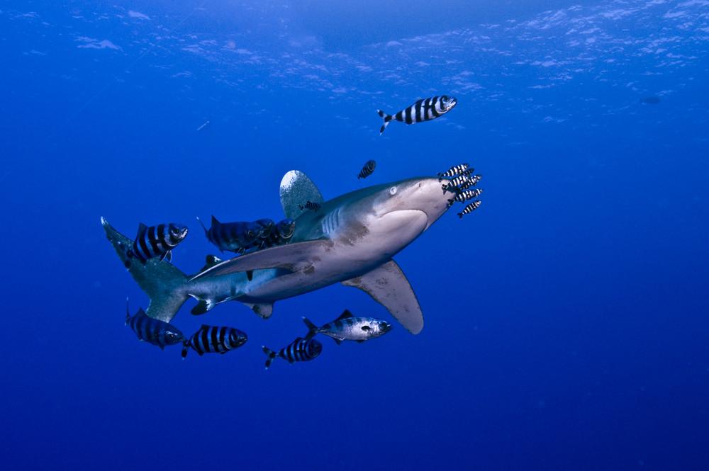 Longimanus mit Makrelen