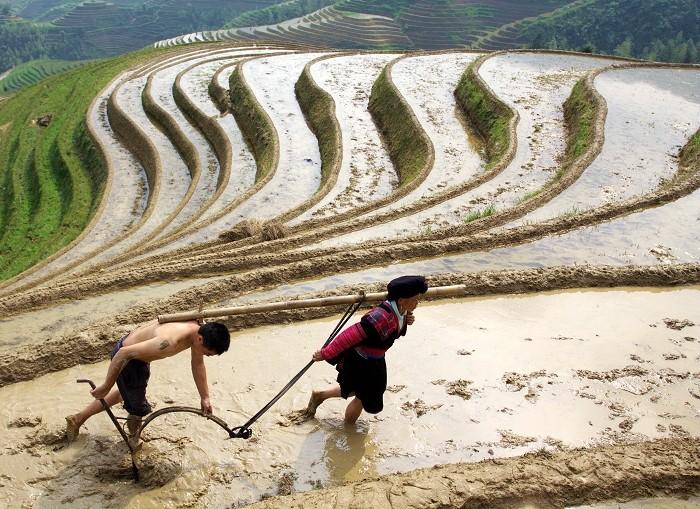 Longsheng rice terrace ploughing