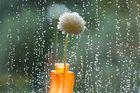 Lonley Flower in rain
