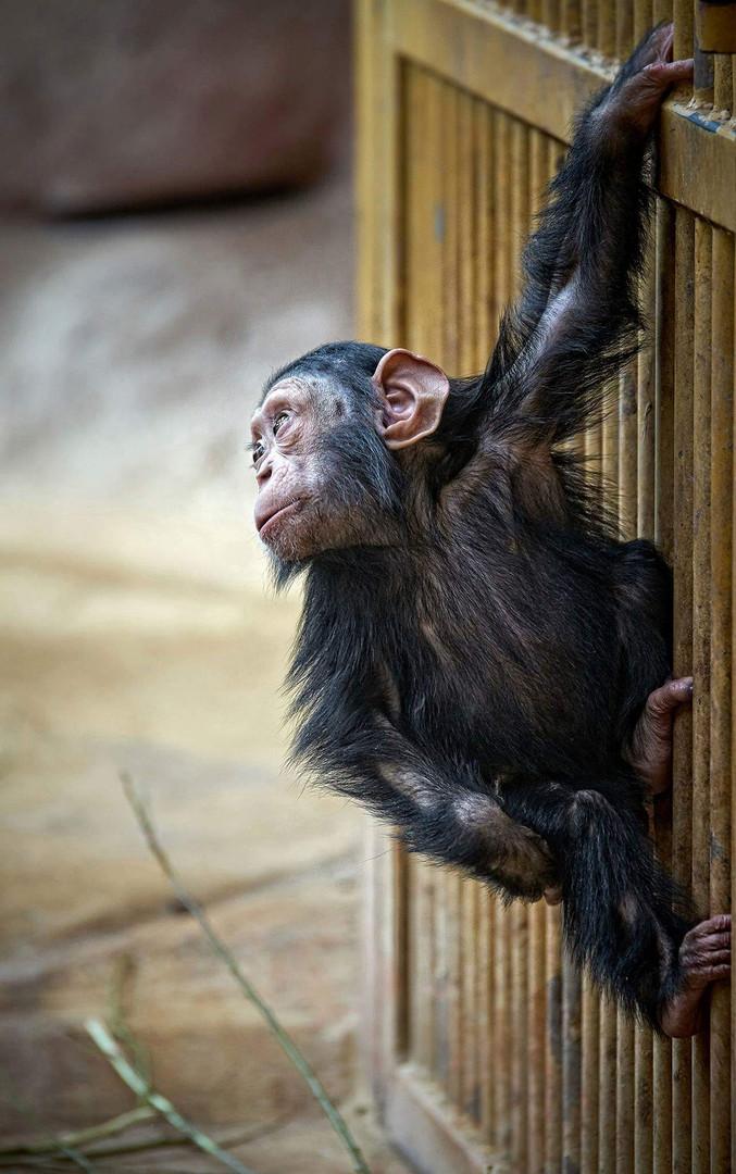 Looking For Banana Foto Bild Tiere Tierkinder Zoo Bilder Auf
