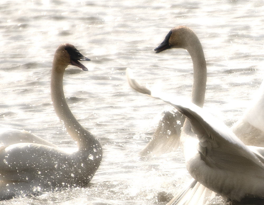¿ looking for swans, chairman ?