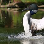 Loon drying his wings