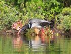 Loon on Nest with Baby