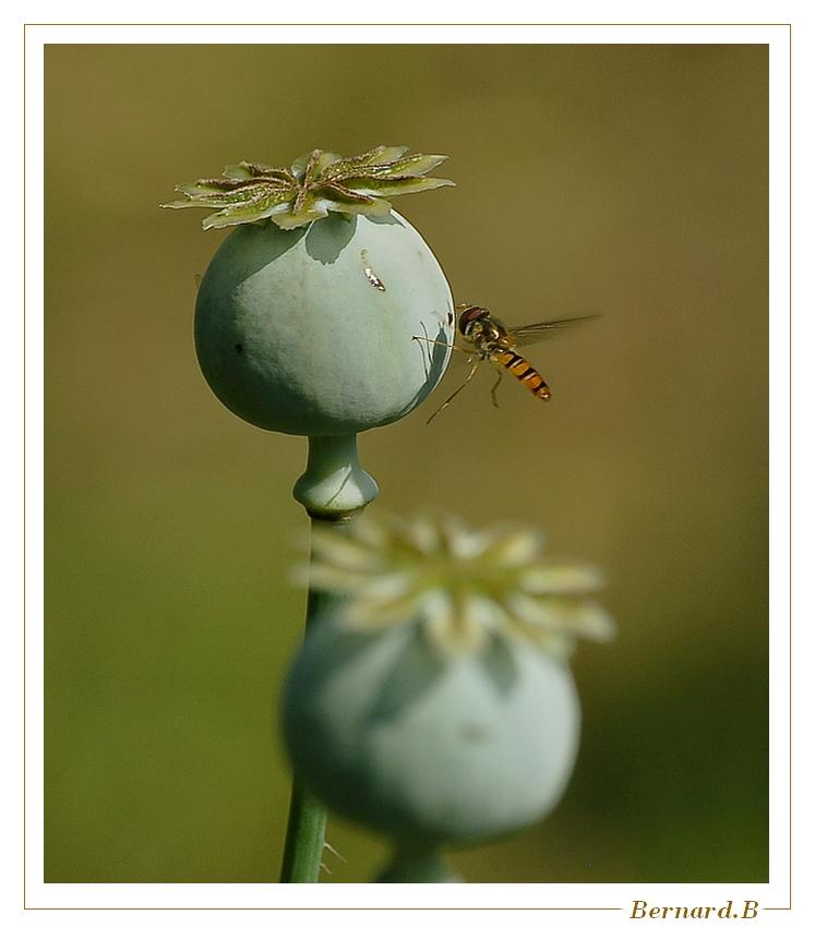 L'opium du syrphe